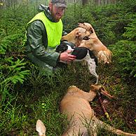Beater with shot roe deer (Capreolus capreolus) and hunting dogs in forest in the Ardennes, Belgium