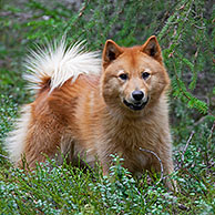 Nordic Spitz (Canis lupus familiaris), used in bird hunting, native of Sweden