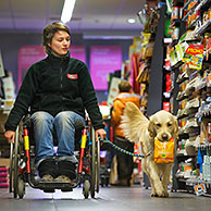 Disabled person in weelchair shopping with Labrador mobility assistance dog in supermarket, Belgium