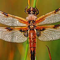 Four spotted libellula dragonfly (Libellula quadrimaculata) covered in morning dew, Belgium