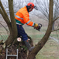 Volunteers pruning willow trees during maintenance works in nature reserve, Belgium