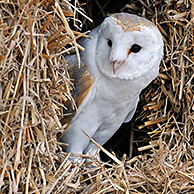 Barn owl (Tyto alba) in haystack / straw bale in barn, England, UK