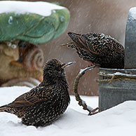 Common Starlings / European Starling (Sturnus vulgaris) foraging on bird table in garden during snow shower in winter, Belgium