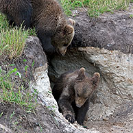 Two European brown bear (Ursus arctos) cubs playing at entrance den, Sweden