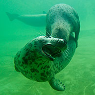 Two Grey seals / Gray seals (Halichoerus grypus) playing underwater, Germany