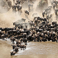 Wildebeest (Connochaetes taurinus) crossing the Mara River during migration, Masai Mara National Reserve, Kenya, Africa