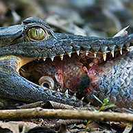 Spectacled caiman (Caiman crocodilus) with fish, Carara NP, Costa Rica